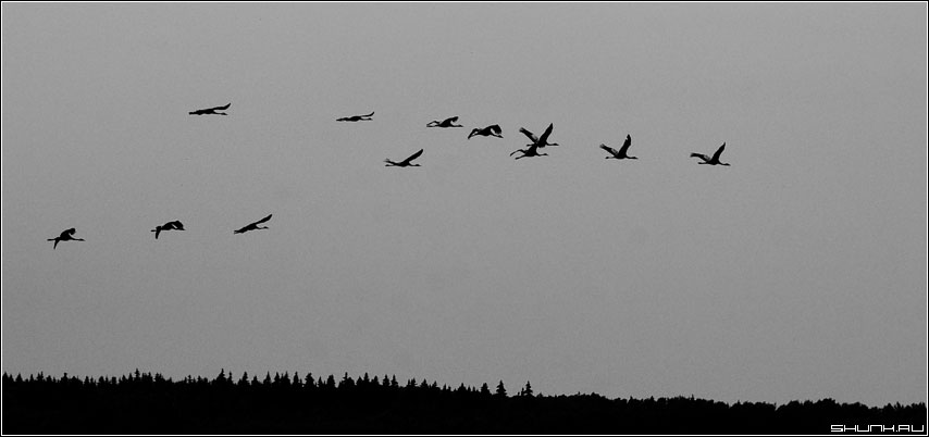 Журавли улетели, журавли улетели!!! - журавли деревня черно-белое контраст лес фото фотосайт
