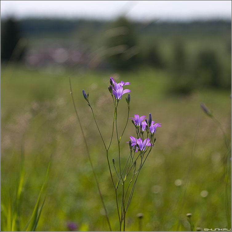 Колокольчики - поле цветы лето колокольчик фото фотосайт
