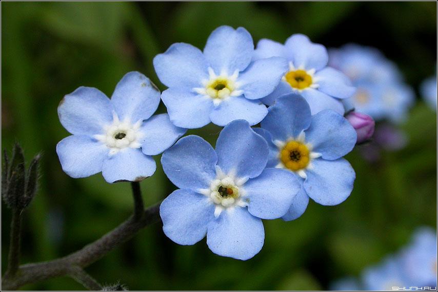 Незабудки голубые макро фото фотосайт