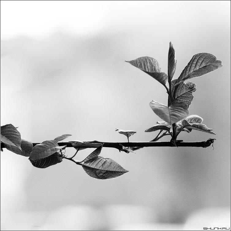 Жизнь продолжается... - весна листья ветка чернобелая квадрат фото фотосайт