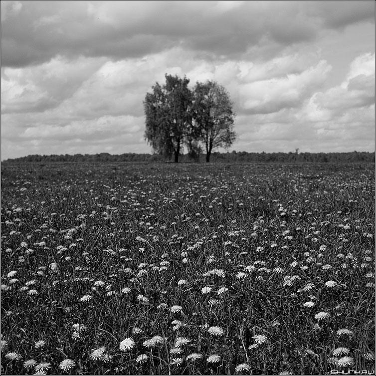 Одуванчиковое поле - поле дерево квадрат чернобелая фото фотосайт