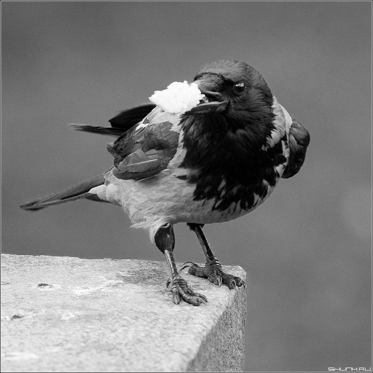 Добыча - ворона манежко чернобелая хлеб квадрат фото фотосайт