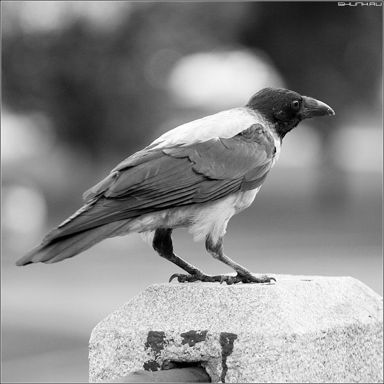 А может быть ворона? - ворона манежко чернобелая квадрат фото фотосайт