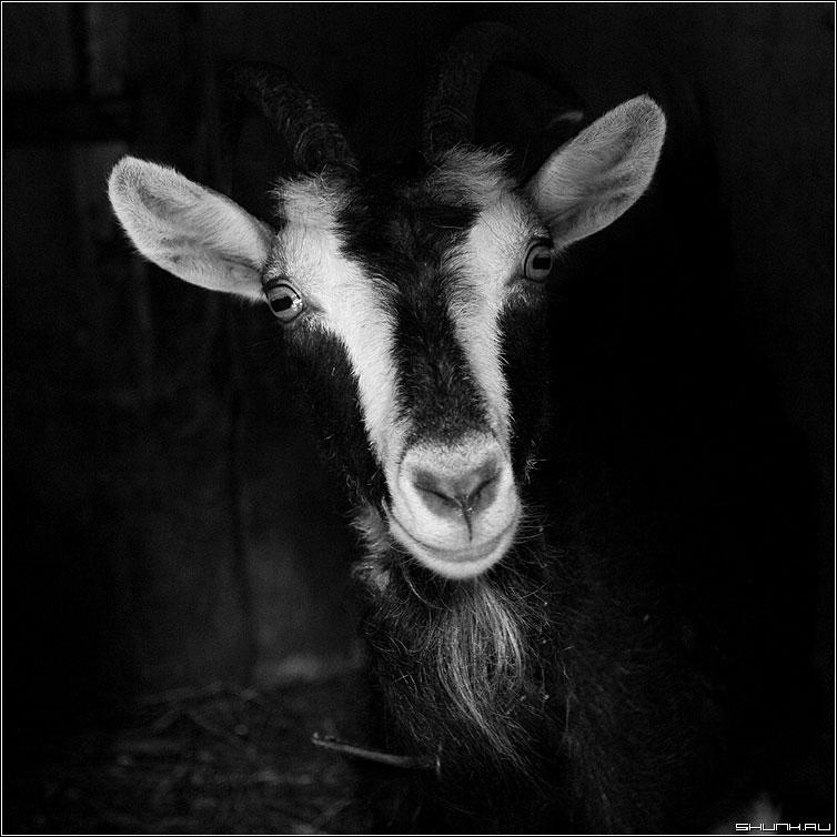 Про прямоугольные зрачки - коза уши чернобелое квадрат деревня фото фотосайт