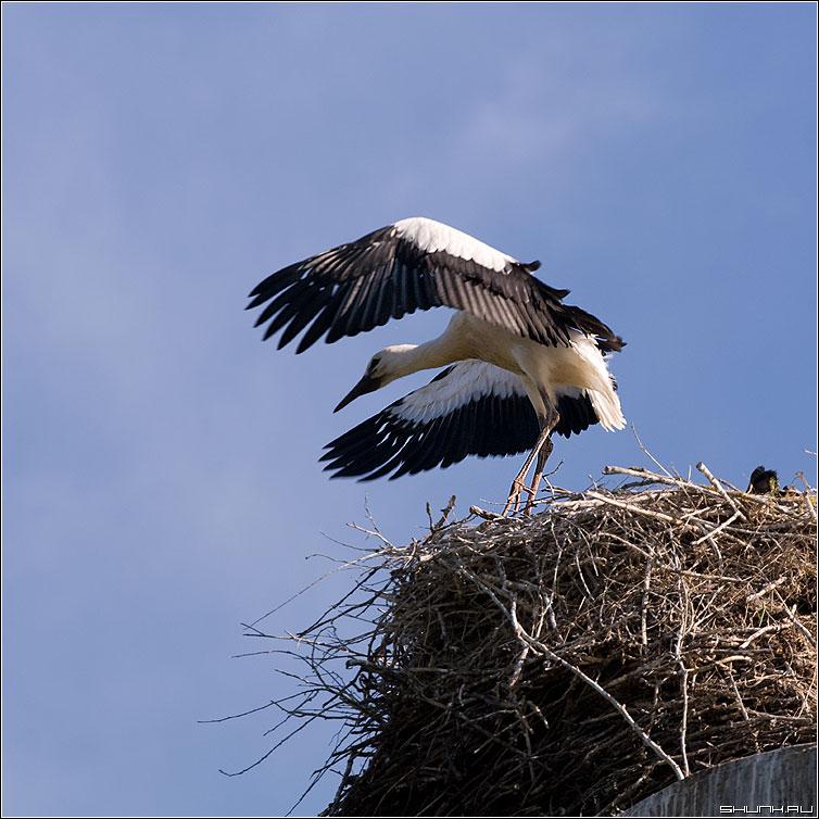 Учится летать - аист детеныш аистенок гнездо вышка лето фото фотосайт