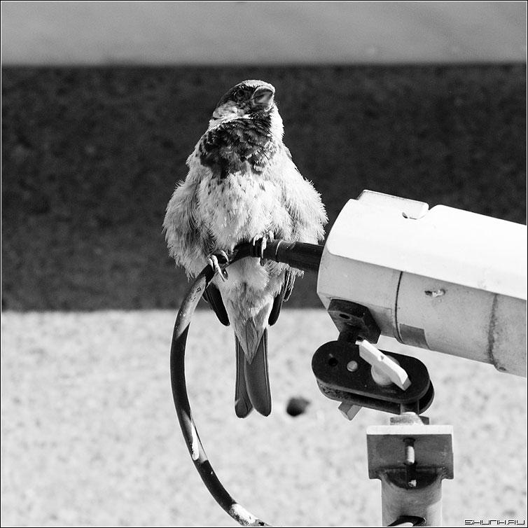 Воро-бей - воробей камера чернобелая квадрат фото фотосайт