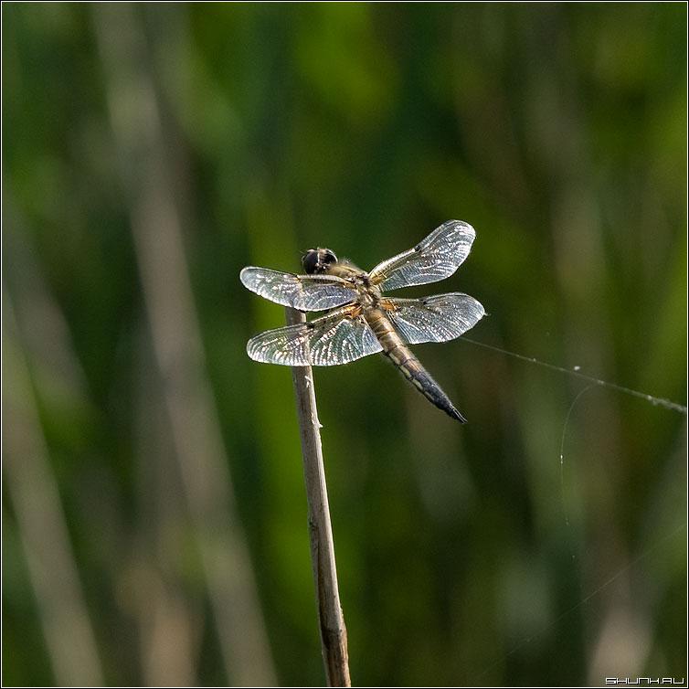 ...муж Стрекозел - стрекоза макро ветка лето фото фотосайт