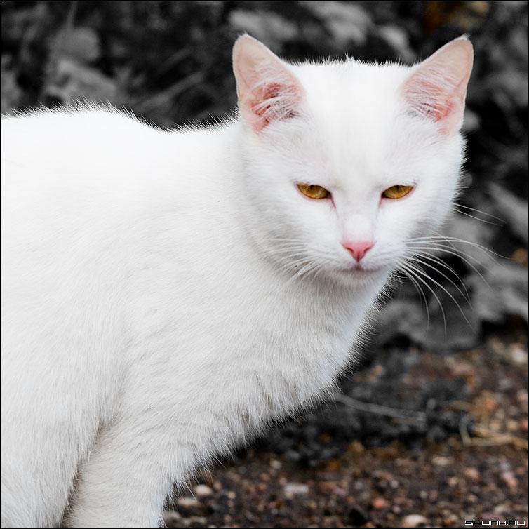 Просто белая кошка - кошка белая квадрат фото фотосайт