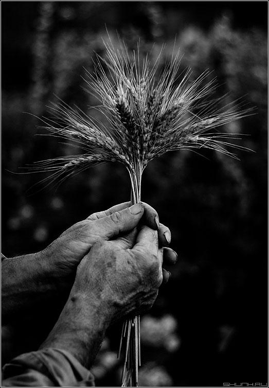 Что посеешь - то пожнешь - колосья руки черное белое фото фотосайт
