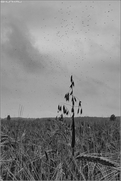 Про ОВЁС - овес поле мушки небо чернобелая фото фотосайт