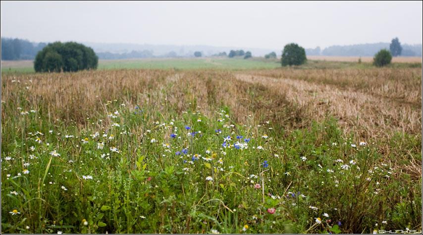Полевые цветы - поле цветы деревья туман лес шустиково фото фотосайт