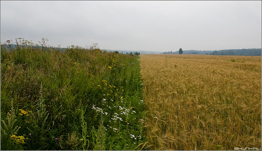 Две половинки - деревня август лето поле туман лес зеленое желтое хлеба фото фотосайт