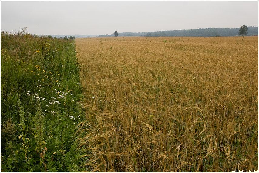 Поле. Русское поле. - деревня август лето поле туман дерево цветы полевые фото фотосайт