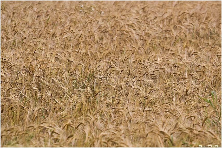 МОРЕ - колоски поле август деревня фото фотосайт