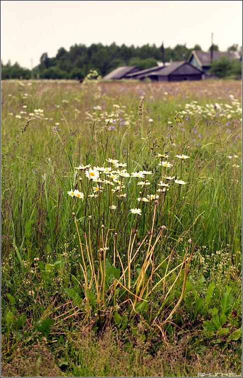 Привет, Ромашки! - ромашки луг деревня домики лето kodak фото фотосайт