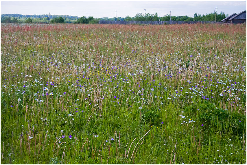 Одуванчиково-васильковое поле - деревня лето поле цветочки фото фотосайт