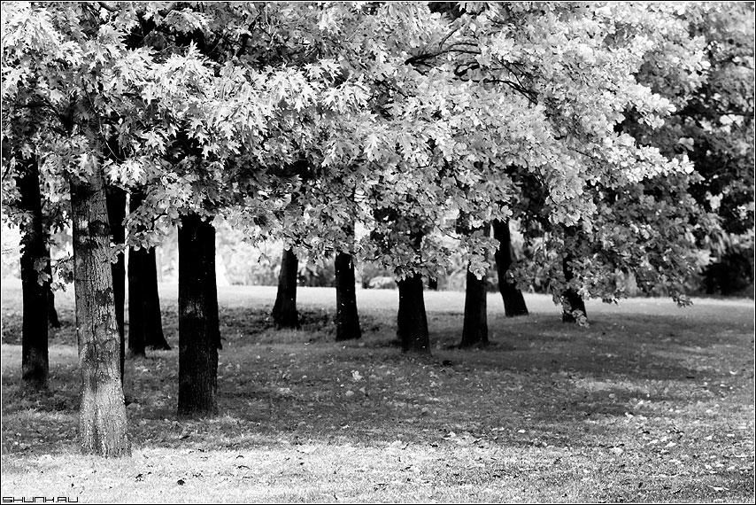 Эта осень... - осень чёрнобелая деревья листва дубы фото фотосайт
