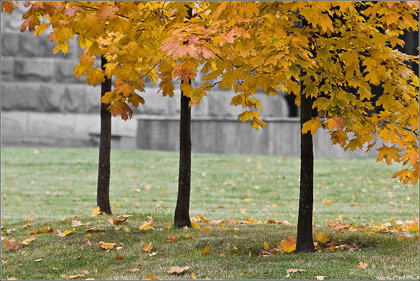 Три клена на Поклонке - осень клен листья желтое поклонка фото фотосайт