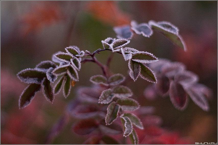 Тающие шипы - иней листики бордо макро фото фотосайт