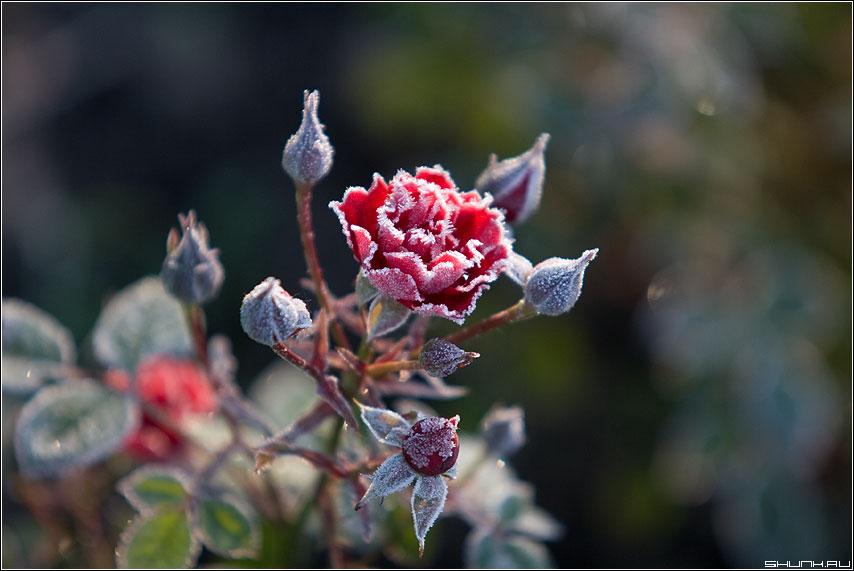 Роза под инеем - роза иней макро осень мороз утро фото фотосайт