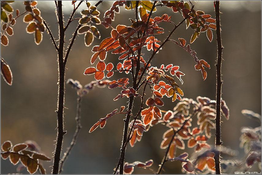 Про три стебля... - мороз иней листья осень фото фотосайт