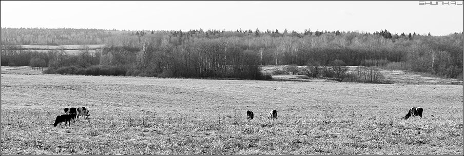 Жуя последнюю травку... - осень коровы поле лес чёрнобелое пятна фото фотосайт