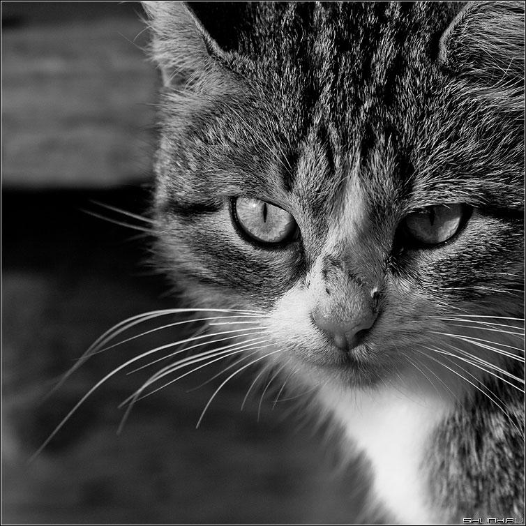 The Cat - кот cat чёрнобелый глаза квадрат фото фотосайт