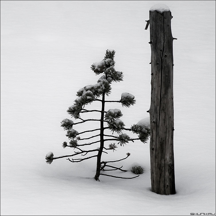 Реинкарнация - квадрат чёрно-белый зима елочка снег ствол фото фотосайт