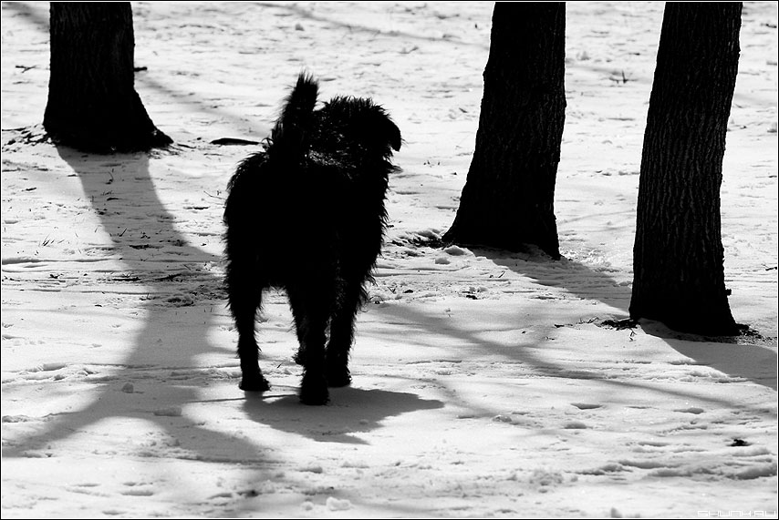 Выбирая дерево - графика собака черное белое чёрно-белое деревья фото фотосайт