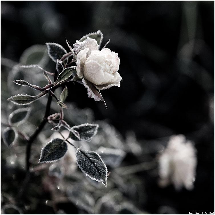 Морозная свежесть - роза морозы обработка иней лед квадрат фото фотосайт