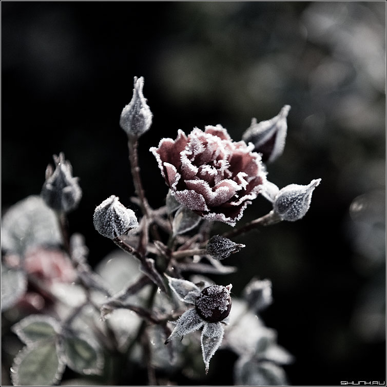 Роза в морозы - роза морозы обработка иней лед квадрат фото фотосайт