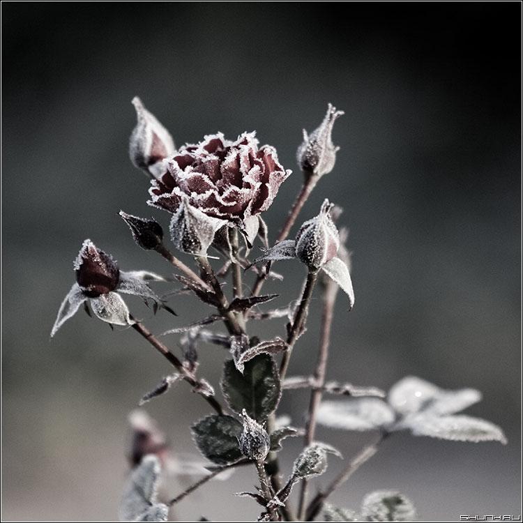 Сахарная тема - роза морозы обработка иней лед квадрат фото фотосайт