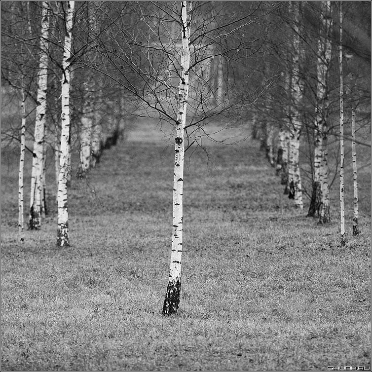 Не как все - березы роща береза квадрат чёрно-белое фото фотосайт
