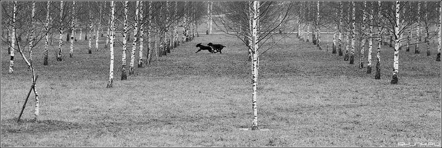 Гончие - собаки березы чёрно-белые собака березы роща осень фото фотосайт