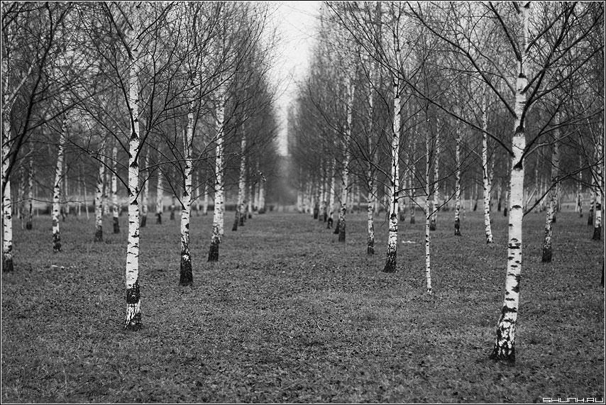 Посвящение Безрукову - березы березки россия чёрнобелые парк осень зима 13 декабрь фото фотосайт