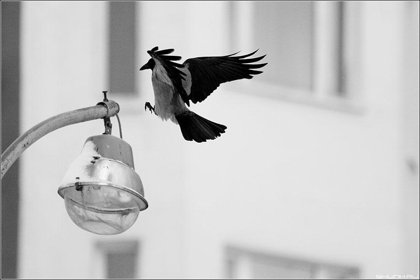 Мягкой посадки - карр ворона фонарь зима крылья чёрное белое фото фотосайт