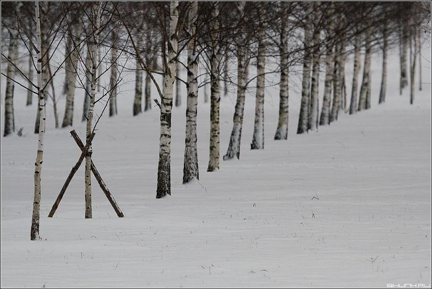 Мистер ИКС - березы роща саженцы снег зима ряд фото фотосайт