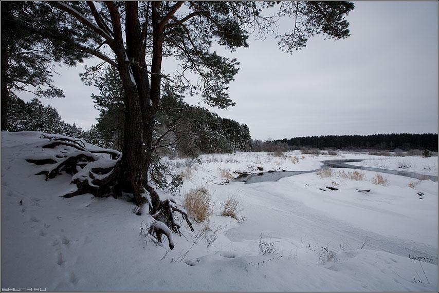 Коренастые деревья - берег река осуга сосна корень корни зима снег январь фото фотосайт