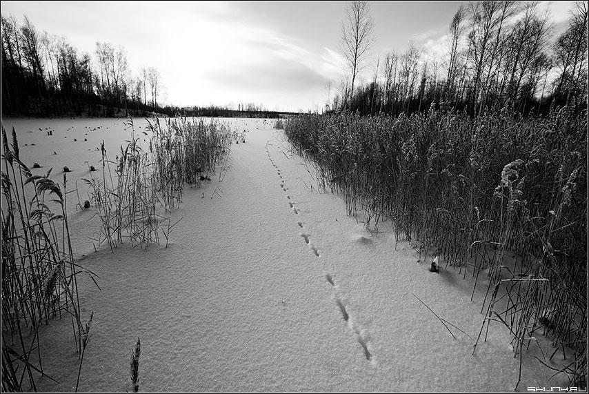 Лисичкина тропа (вид 2) - снег зима следы лисичка тракинки камыш река пруд лед пейзаж чёрнобелые фото фотосайт