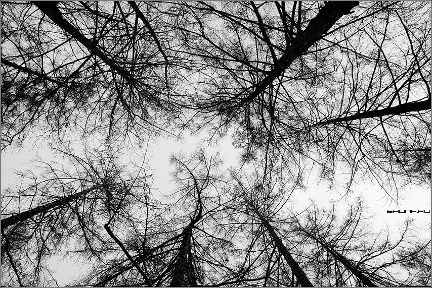 Как травинки смотрят вверх - деревья лиственицы чёрно-белые ветки фракталы фото фотосайт
