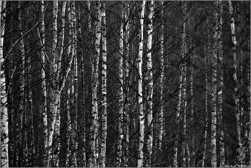 Березовое... - березы лес чаща чёрно-белые много фото фотосайт