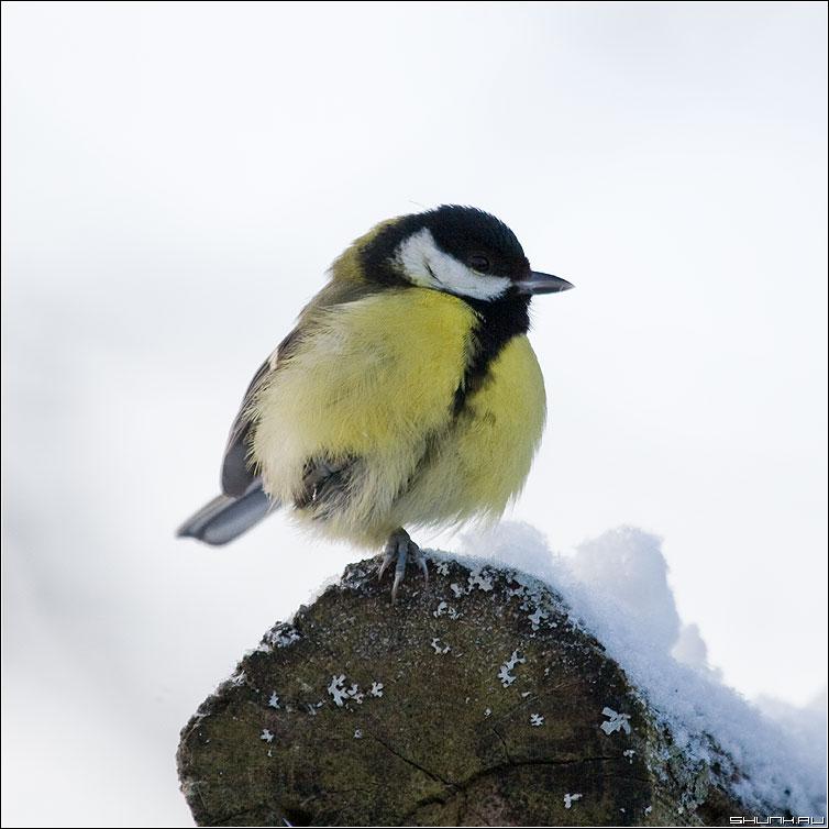 Почему цапля стоит на одной ноге? - синичка нога лапка снег новый год фото фотосайт