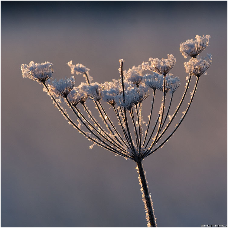 Сахарная метелочка - квадрат элемент снег иней семена зима фото фотосайт
