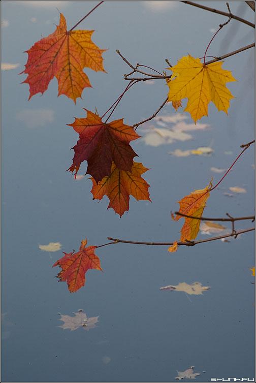 Цветастые - листы осень клен лужа листочки ветви фото фотосайт