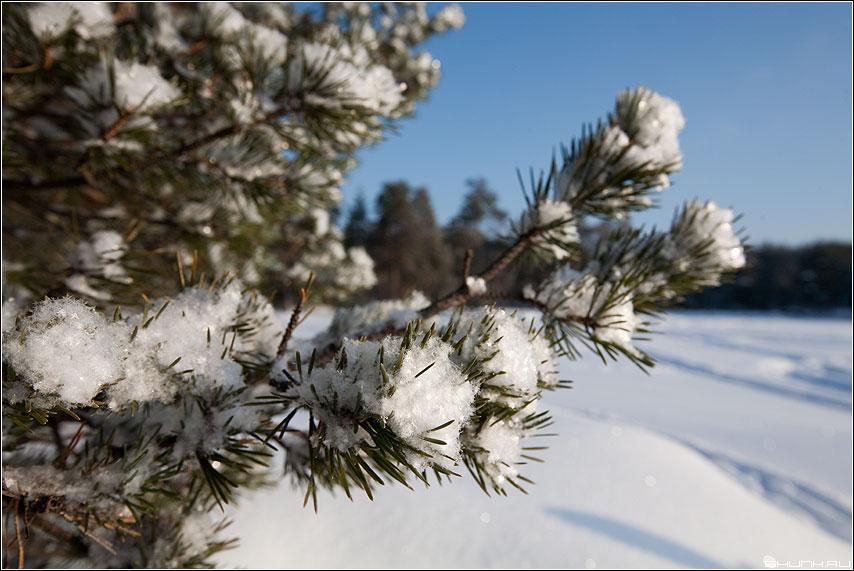 Свежий - снег ветки сосна снежинки карелия утро фото фотосайт
