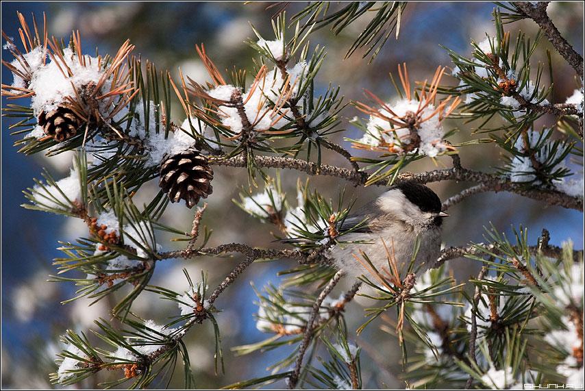 Найди трех птичек - птичка сосна шишки карелия природа живность фото фотосайт