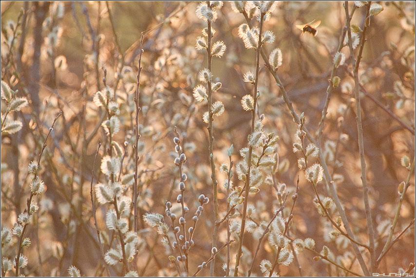 Весеннее жужжание - весна почки свет закат солнечный шмель фото фотосайт