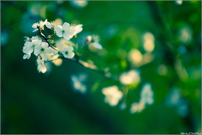 Цветет сакура - вишня цвет цветы обработка cross цветы ветка ветвь фото фотосайт