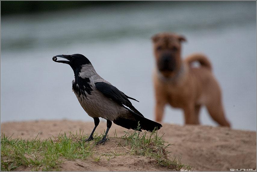Про что-то вкусное - собака ворона каррыч клюв телевик живность канал фото фотосайт