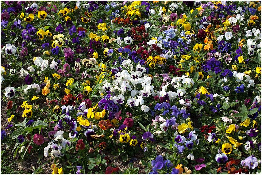 Анютины глазки - цветочки клумба разноцветные фото фотосайт